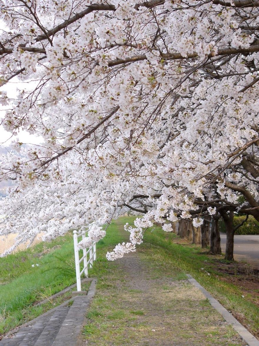 桜2011-袋川